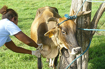 Tick removal on a creole cow in Guadeloupe © Cirad