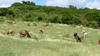 Heard of mix breed bovines in Guadeloupe savana © J. Pradel, Cirad